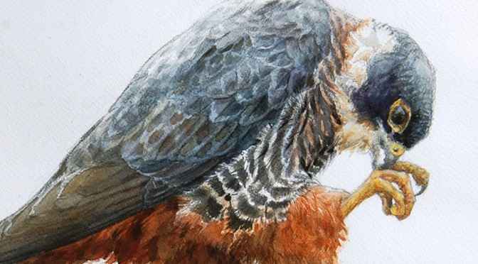 Bat Falcon: TRINIDAD
