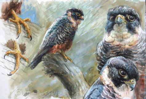Bat Falcon studies GALVEZ