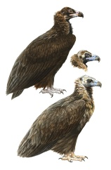 The Cinereous Vulture (Aegypius monachus) depicted in juvenile plumage (top) and two adult variants.
