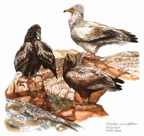 "The lower half of the Egyptian Vulture (Neophron percnopterus) plate in the ""Raptors and Owls"" guide. It was executed almost entirely from the Davit Garegi Monastery, near the border between Georgia and Azerbaijan."