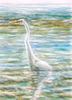 A Great White Heron backlit - while feeding in the deeper shallows of Florida Bay. Great Whites will feed further out than any other heron - including Great Blues - and may even have their bellies well into the water while in pursuit of prey.