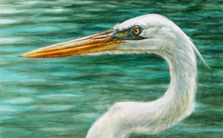 Portrait of a Great White Heron.