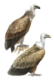 The Eurasian Griffon Vulture (Gyps fulvus) depicted in juvenile and adult plumages.