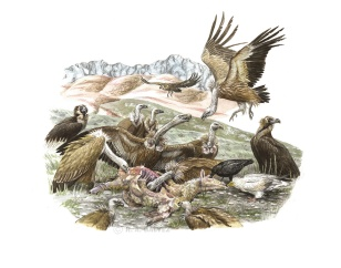 Ravens are among the first attracted to carrion, followed closely by Egyptian Vultures. Unable to tear the skin with ease, they eat out the eyes and soft parts. Soon, Griffons arrive attracted by encircling birds. Cinereous Vultures arrive last in smaller numbers, waiting at the periphery for a chance to feed.