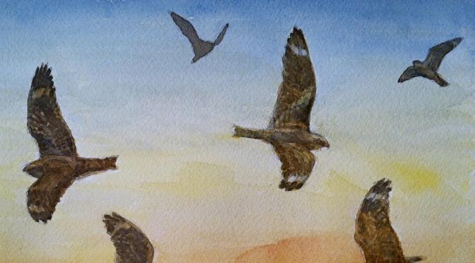 Lesser  Nighthawks: EVERGLADES