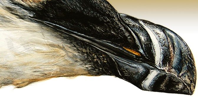 The Bill and Buccal Cavity of a Razorbill
