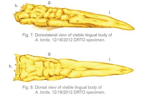 Razorbill Lingual Body sm