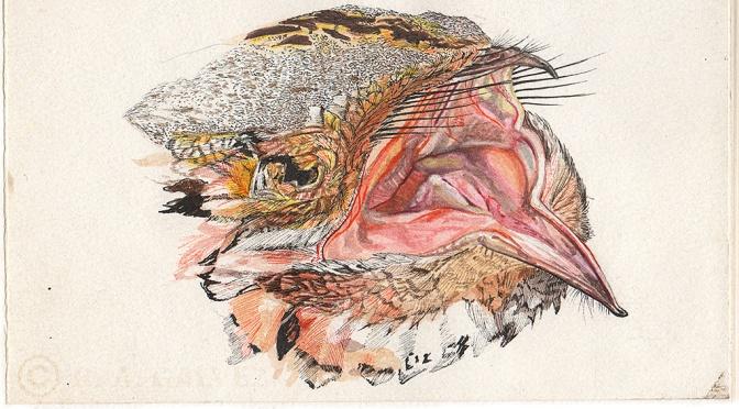 Red-necked Nightjar: ANDALUCÍA