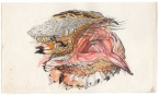 Study of the open mouth of a Red-necked Nightjar, done with watercolor, ink pens and color pencil. While the bills of nightjars are relatively small, their open mouths are very large. Note the stiff bristle feathers lining the mouth, which act as nets to help bring insect prey into the buccal cavity.