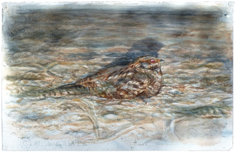 Red-necked Nightjar in headlamps GALVEZ