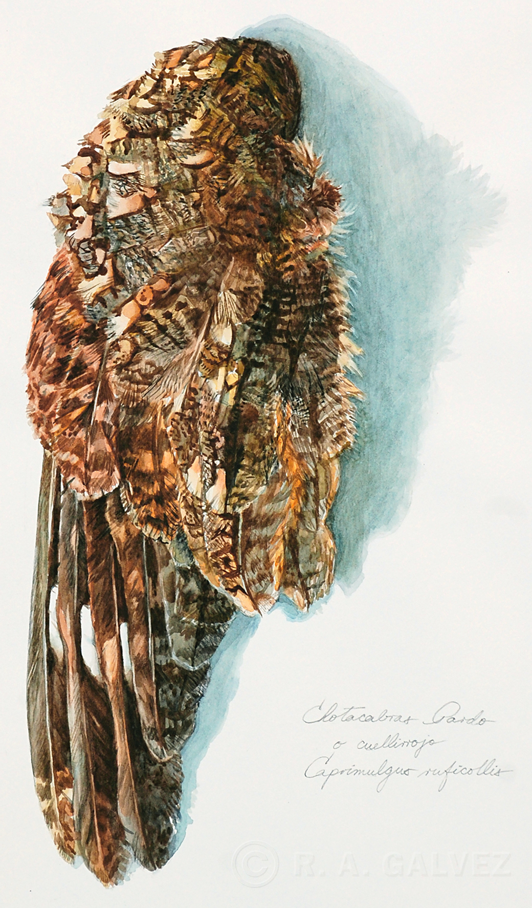 A watercolor study of a Red-necked Nightjar wing, done soon after the bird was found, killed by the roadside.