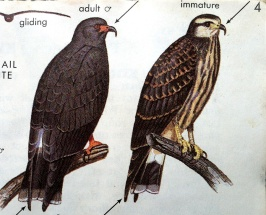 """Illustrations of Snail Kites from """"A Field Guide to Hawks, North America"""" by Clark and Wheeler (1987). The depictions of birds in field guides have traditionally been rendered with a graphic flatness conducive of their use as comparative images."""