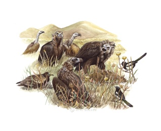 "A feeding scene included in a behavior/habitat spread in ""Raptors and Owls of Georgia."" Magpies and a young Egyptian Vulture discover the carrion. When Griffons congregate in low numbers, Cinereous Vultures dominate the feeding, and the hungrier birds aggressively defend the carcass while all others wait."