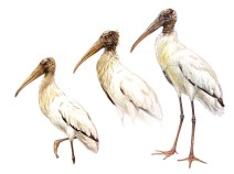 Wood Storks reach maturity after their third year, by which point they lose all the feathers on their heads and necks, which become bare, covered with scales. The bills and heads of adults are dark (right). Subadult birds show dark heads with irregular feathering and bare areas (center). First-year birds have feathered heads stained brown and yellowish bills (left).