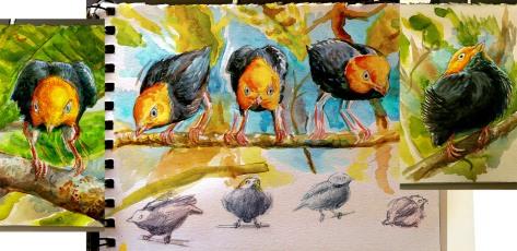 Golden-headed Manakin Sketches